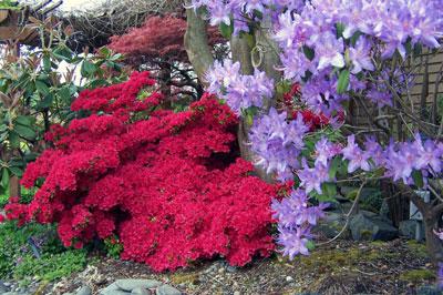 azaleas & rhody