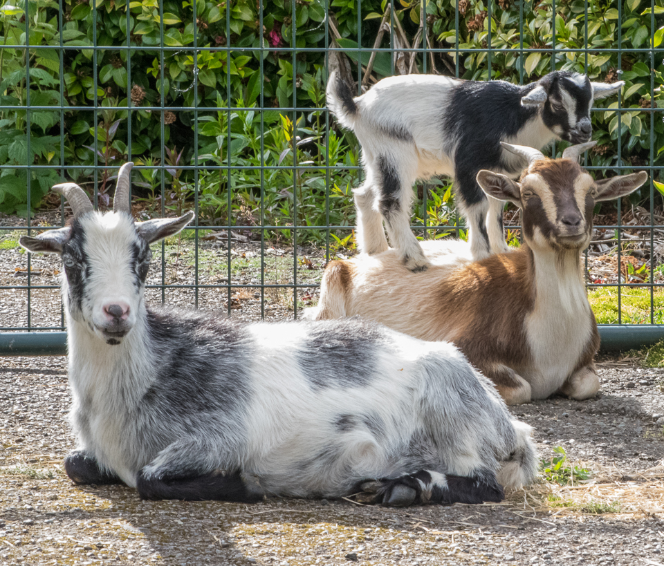 goats 07-5188
