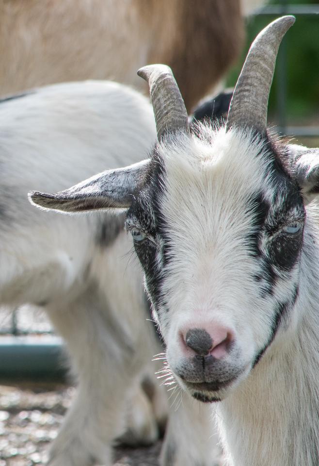 goats 10-5249